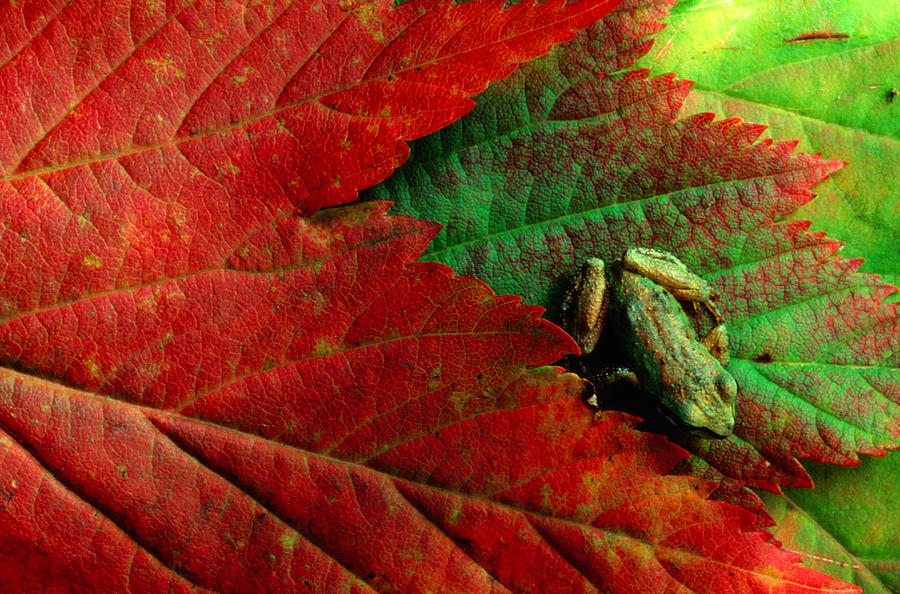 Pacific Tree Frog Hyla Regilla On Maple Photograph by Art Wolfe