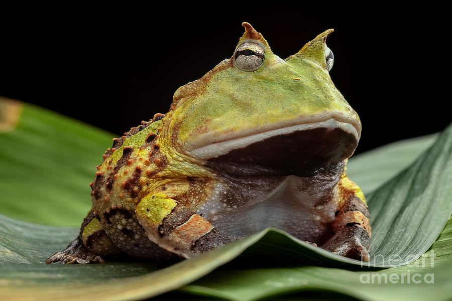Big Photograph - Pacman Frog Or Toad, South American by Dirk Ercken