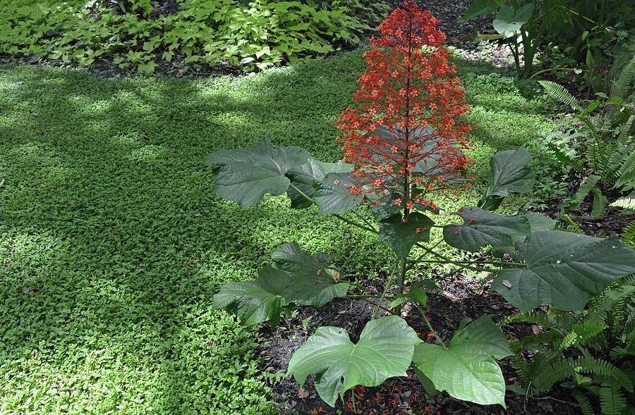 Pagoda Plant In Garden Photograph