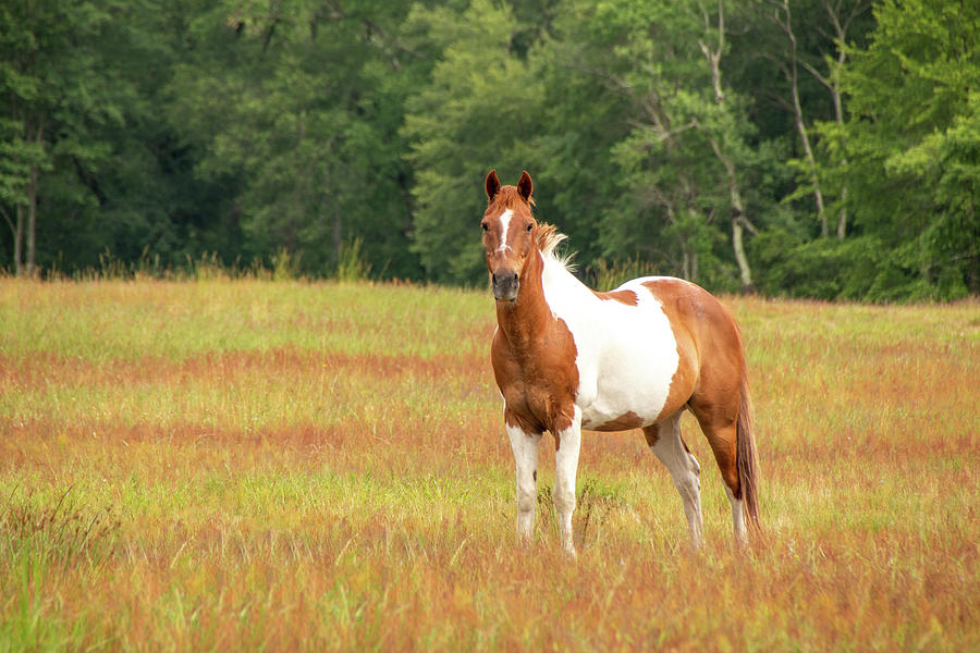 Paint Horse In Meadow by Kristia Adams