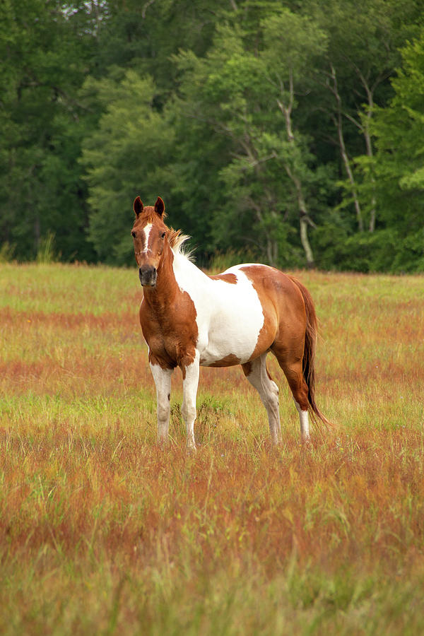 Paint Horse in Pasture by Kristia Adams