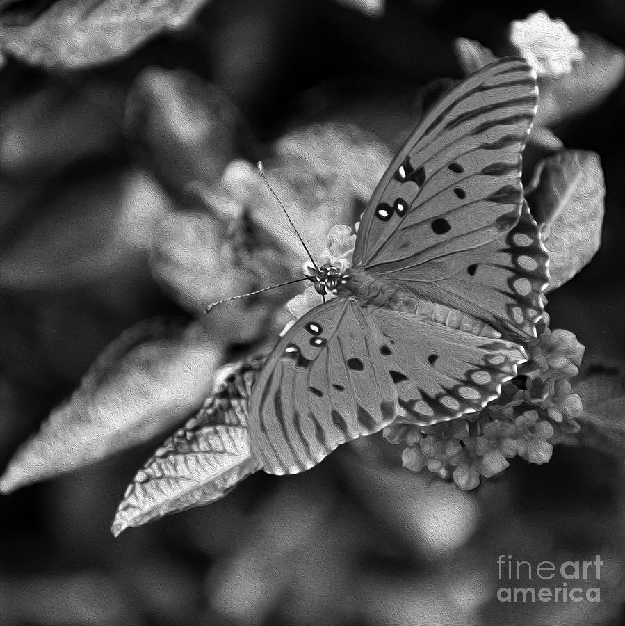 Painted B And W Fritillary Butterfly Photograph