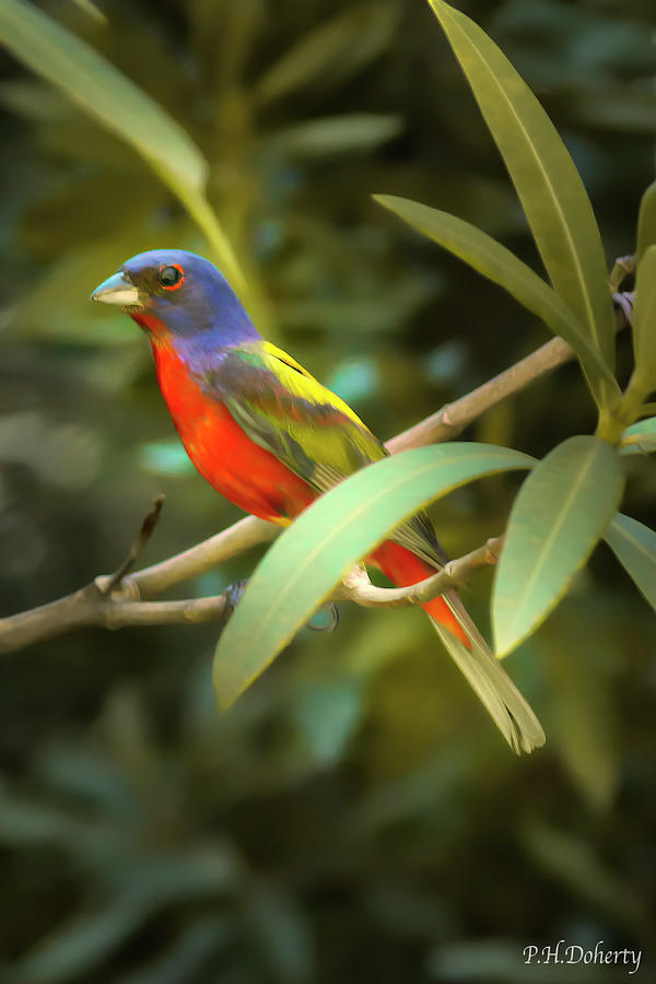 Painted Bunting Male Photograph