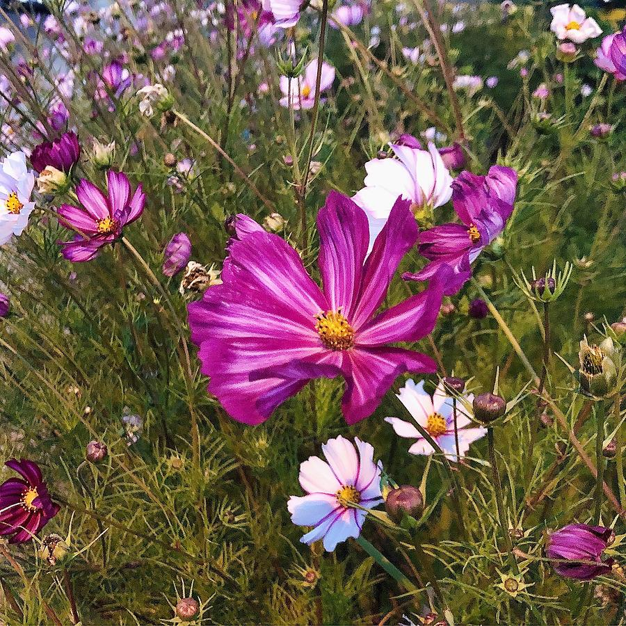 Cosmo Photograph - Painted Cosmos by Brian Eberly