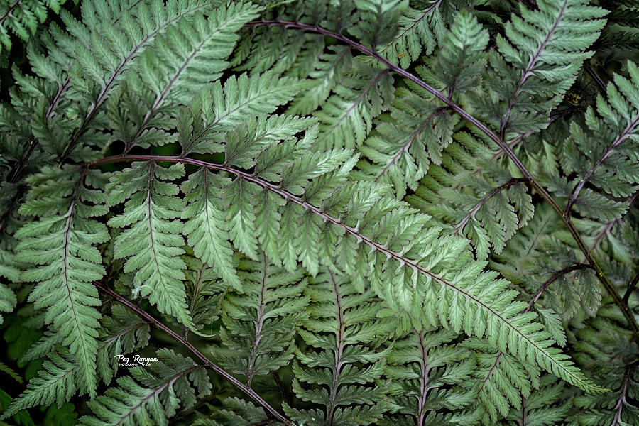 Painted Fern by Peg Runyan