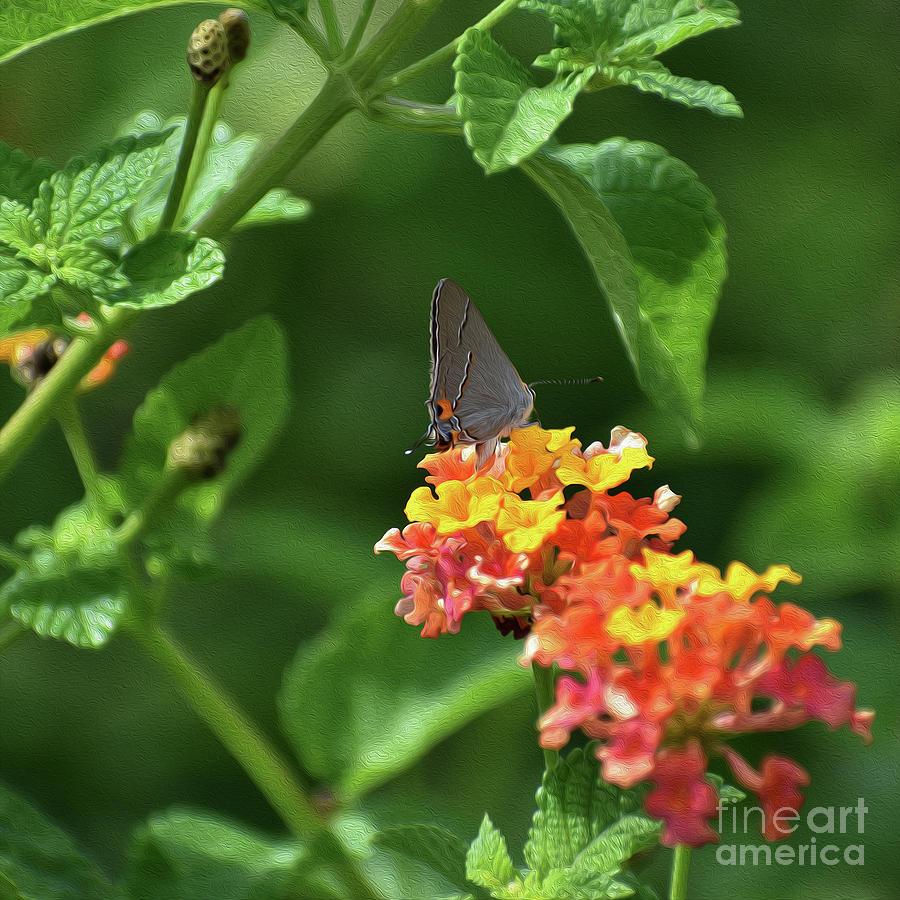 PAINTED GREY HAIRSTREAK BUTTERFLY by Skip Willits