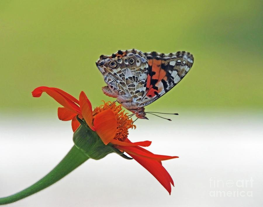 Painted Lady 11 on mexican Sunflower by Lizi Beard-Ward