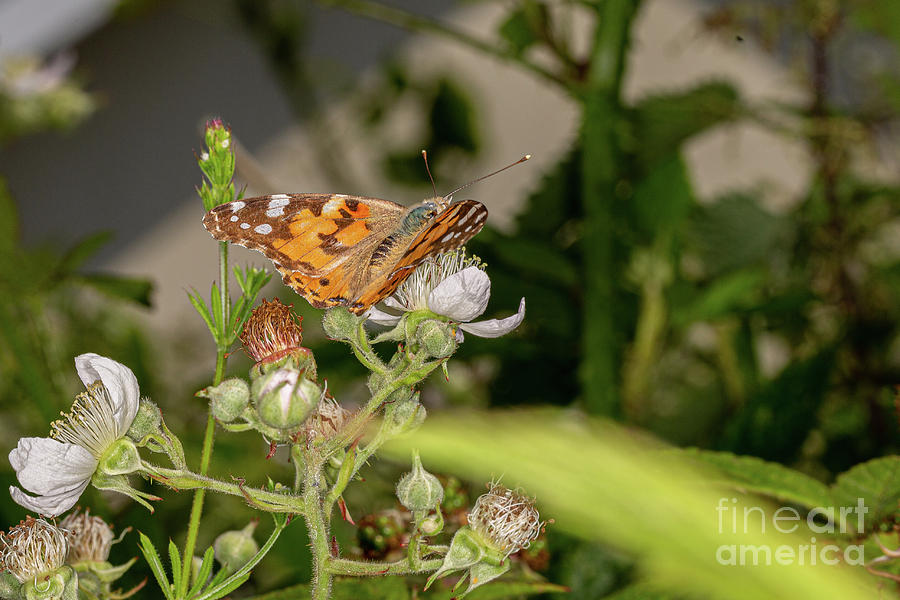 Painted Lady by Brian Roscorla