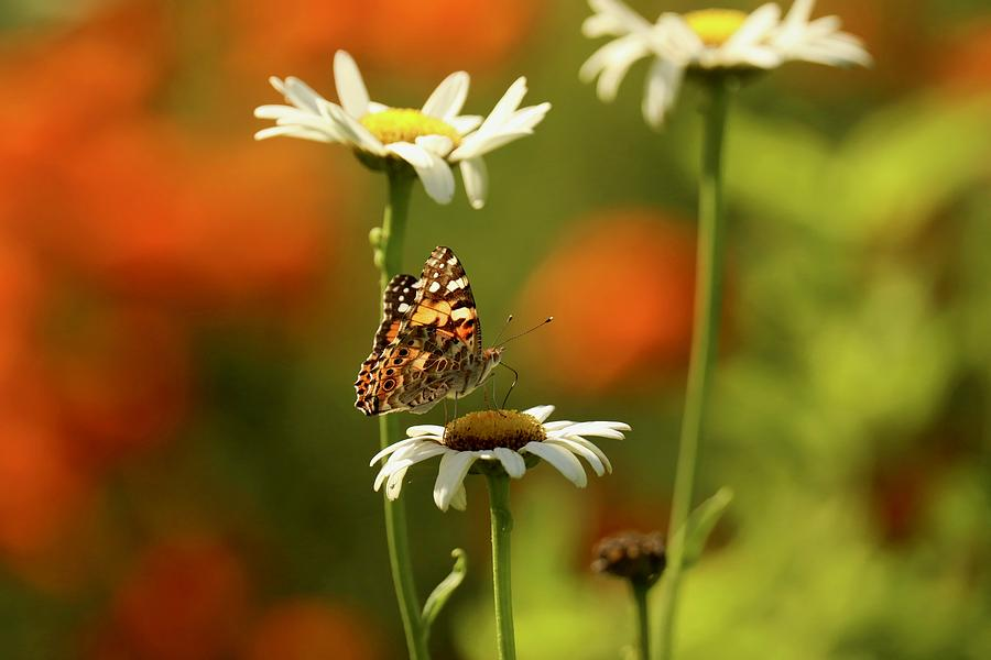 Painted Lady Butterfly and Daisies by Rachel Morrison