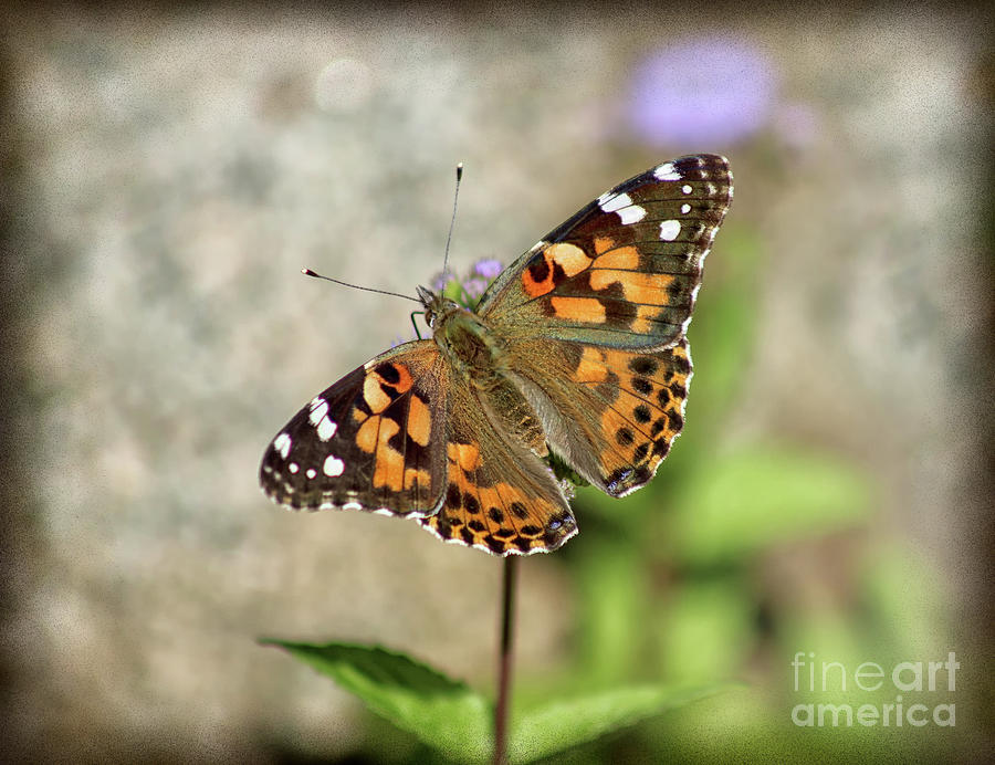 Painted Lady Butterfly Photograph - Painted Lady Butterfly Burnt Edge 2019 by Karen Adams