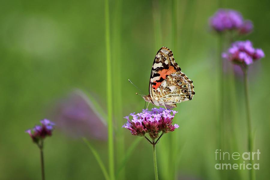 Painted Lady Butterfly Dreams by Karen Adams