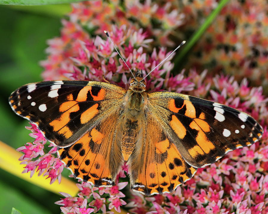 Painted Lady Butterfly On A Sedum by Dale Kauzlaric