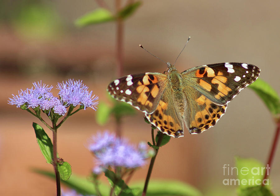 Painted Lady Butterfly on Mistflower by Karen Adams