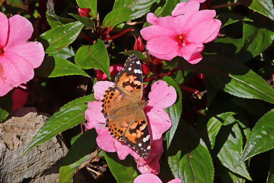 Painted Lady Butterfly On Pink Flowers Photograph