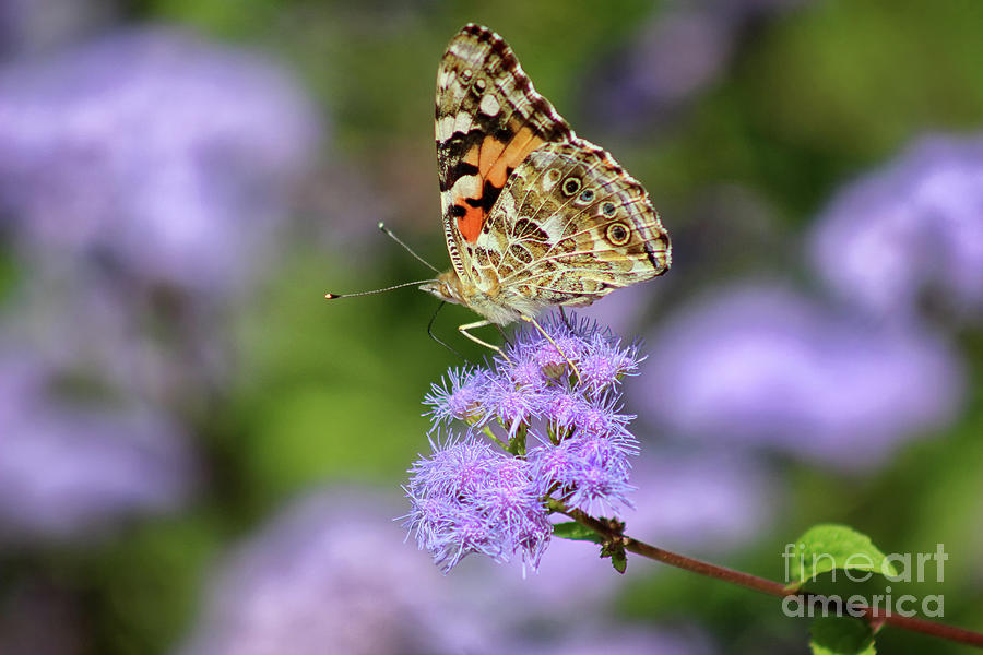 Painted Lady Butterfly Ventral View 2019 by Karen Adams