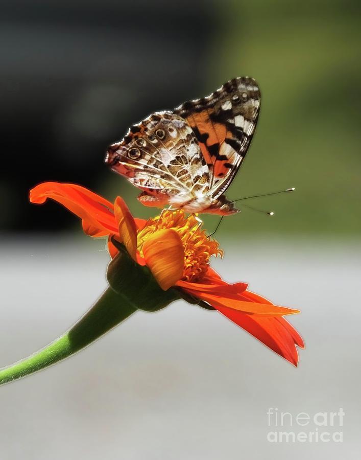 Painted Lady Butterfly12 by Lizi Beard-Ward