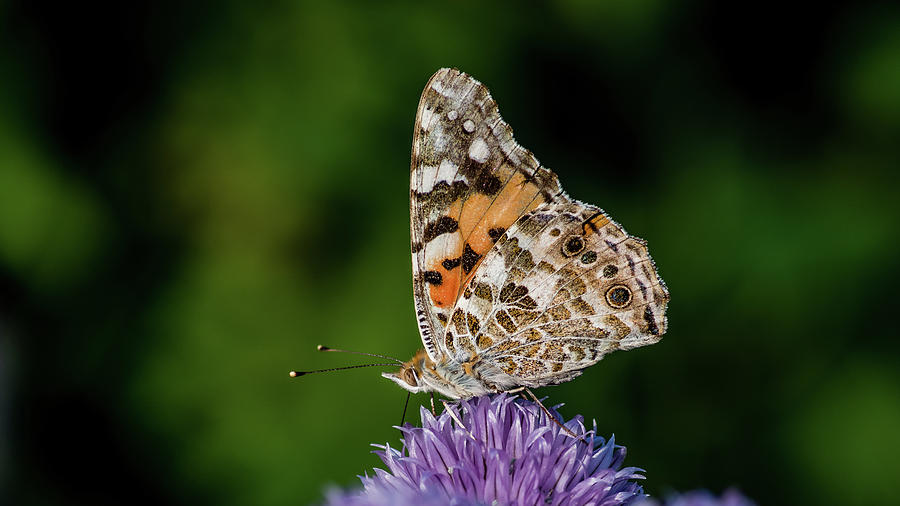 Painted Lady IIi Photograph