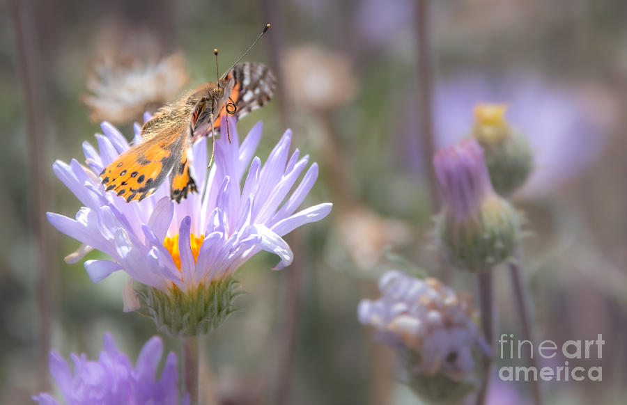 Painted Lady in the Aster by Lisa Manifold