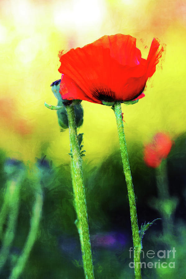 Painted Poppy Abstract by Anita Pollak