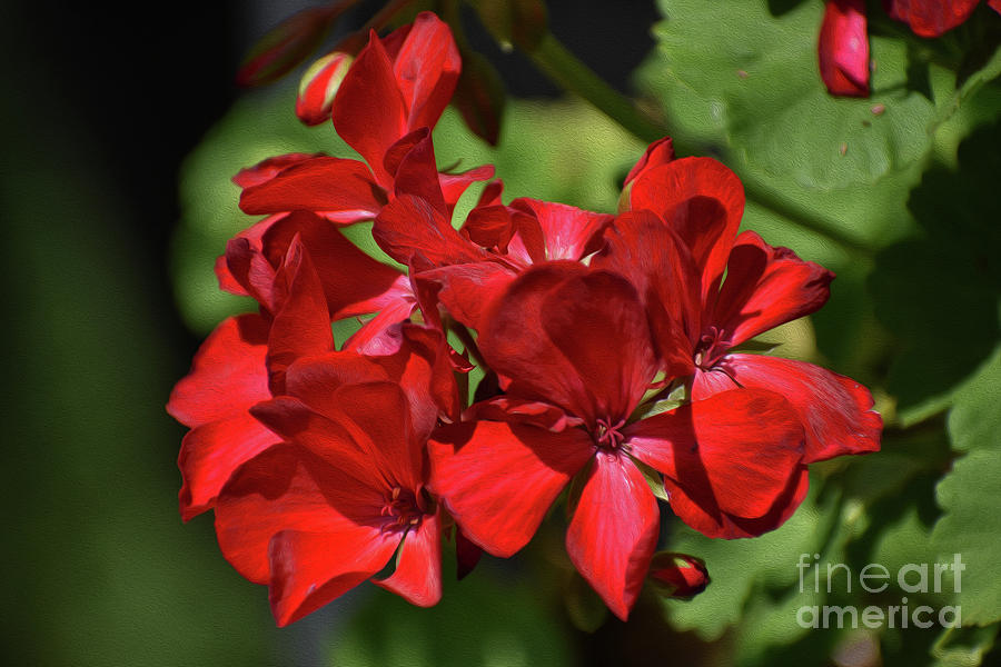 PAINTED RED GERANIUM by Skip Willits