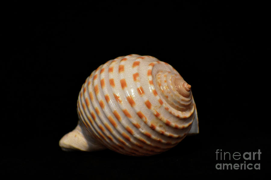 PAINTED SHELL NO 29 by Skip Willits