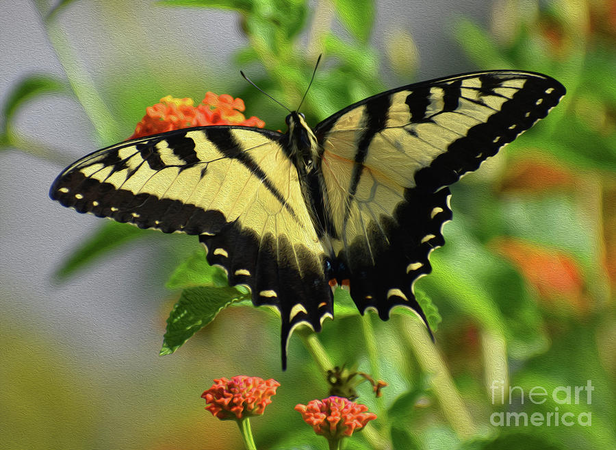 Painted Swallowtail Photograph