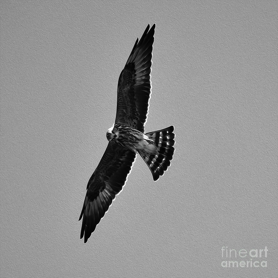 Painted Wild Perigrine Falcon 8x8 Photograph