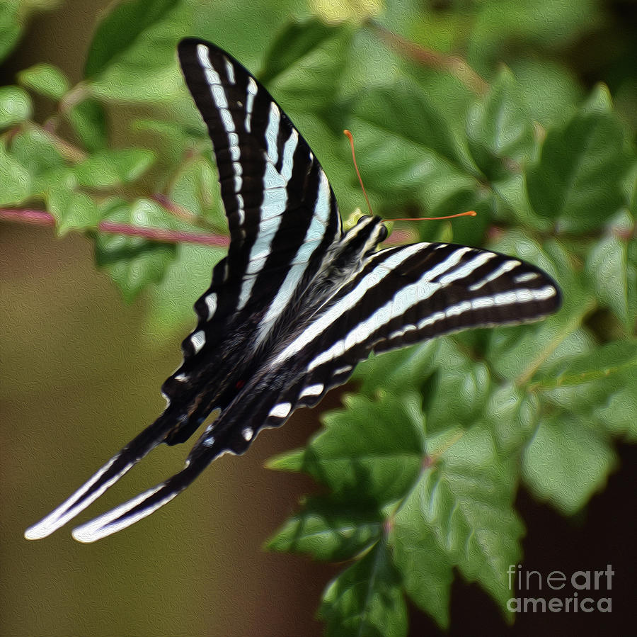 PAINTED ZEBRA SWALLOWTAIL 8X8 by Skip Willits