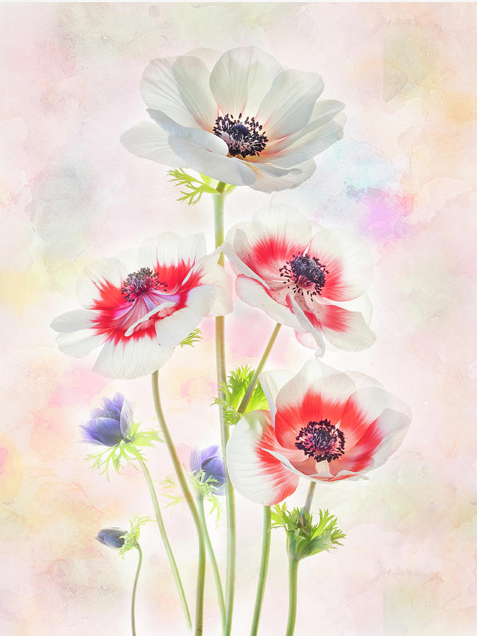 Painterly Anemone by Usha Peddamatham