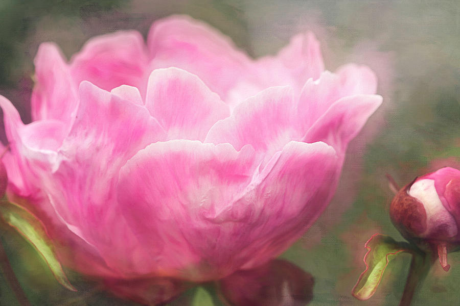 Painterly Peony by Cindi Ressler