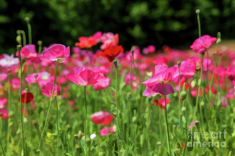 Painterly Poppies in Pink by Lisa Lemmons-Powers