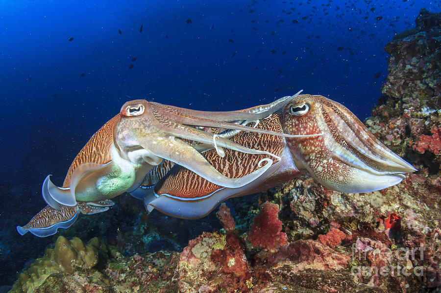 Sulawesi Photograph - Pair Cuttlefish Mating by Rich Carey