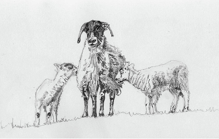 Lambs Drawing - Pair by Helen White