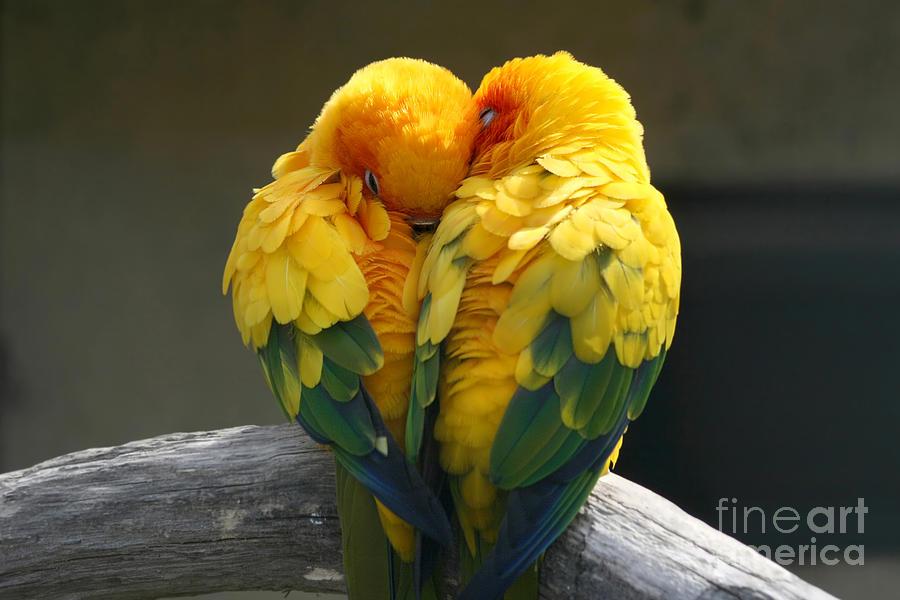 Agapornis Fischeri Photograph - Pair Lovebirds by Julia Kuznetsova