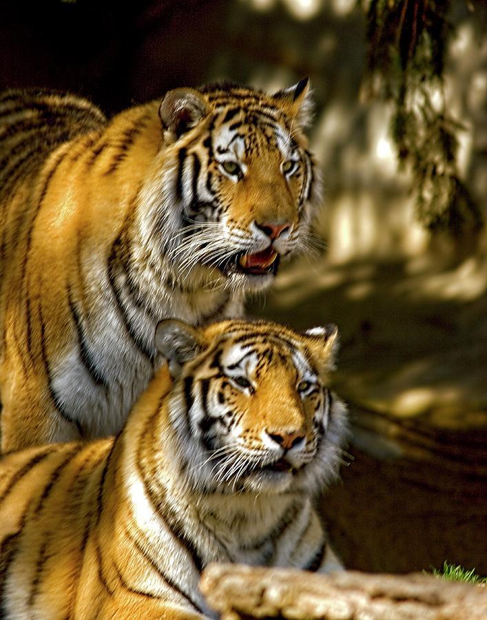 Pair O Tigers by John Bates
