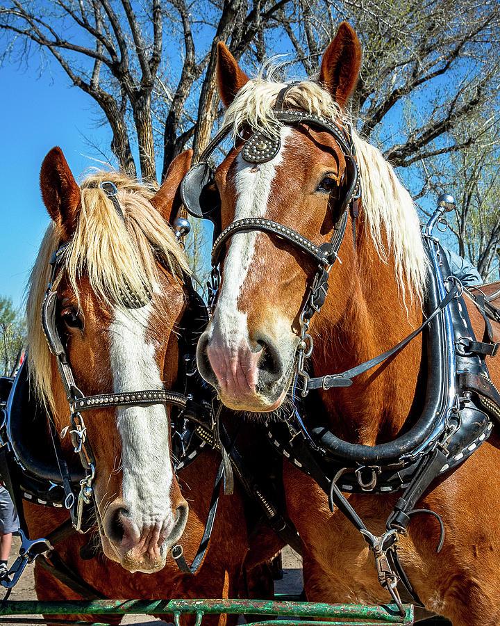 Pair Of Belgian Draft Horses Photograph by Joe Schwartz