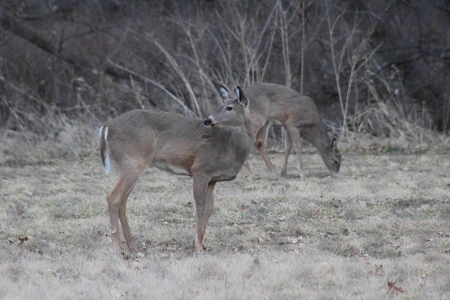 Deer Photograph - Pair Of Browsing Deer by Callen Harty