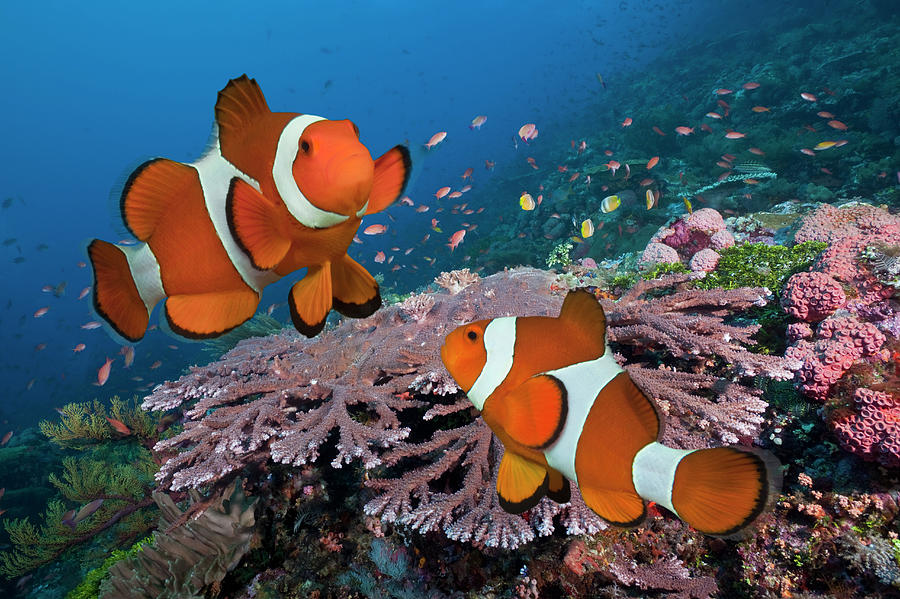 Pair Of Clownfish On Tropical Coral Reef Photograph by Jeff Hunter