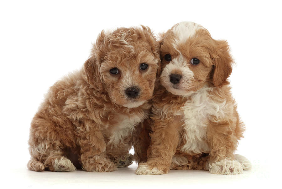 Pair of Cute Cavapoochon puppies by Warren Photographic