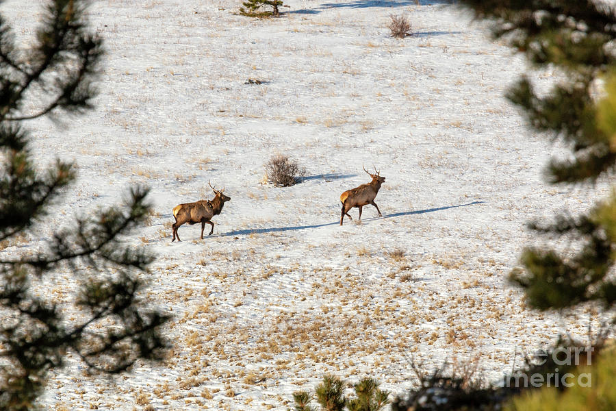 Pair Of Elk In The Rocky Mountain Snow Photograph