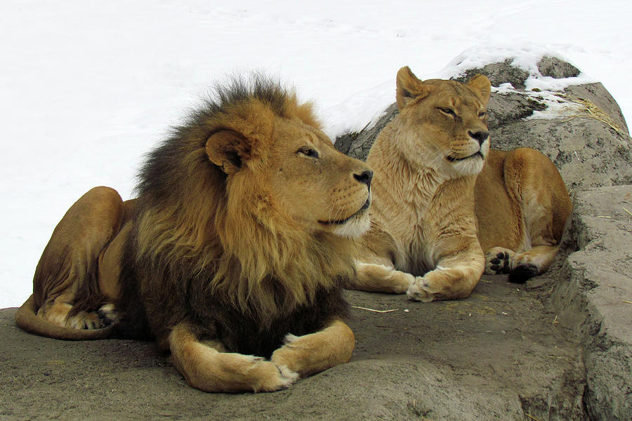 Pair Of Lions Photograph by Images By Nancy Chow