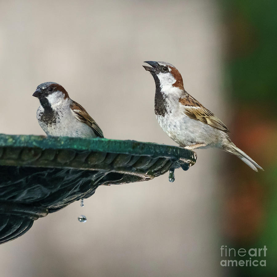 Pair of Male Spanish Sparrows Drinking from Iron Fountain by Pablo Avanzini
