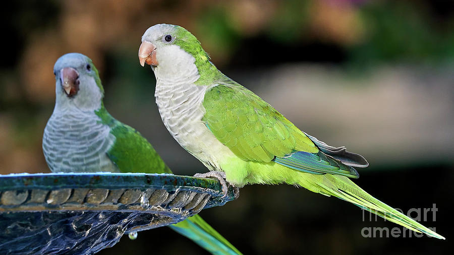 Pair of Monk Parakeets Perched on Iron Fountain Colored Background Cadiz Spain by Pablo Avanzini