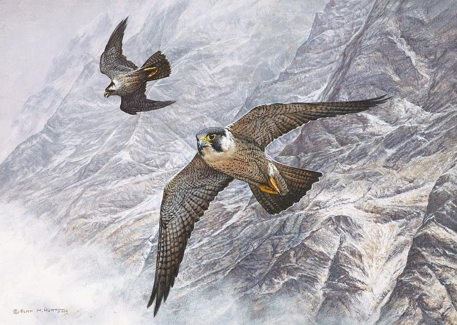 Pair of Peregrine Falcons in Flight by Alan M Hunt