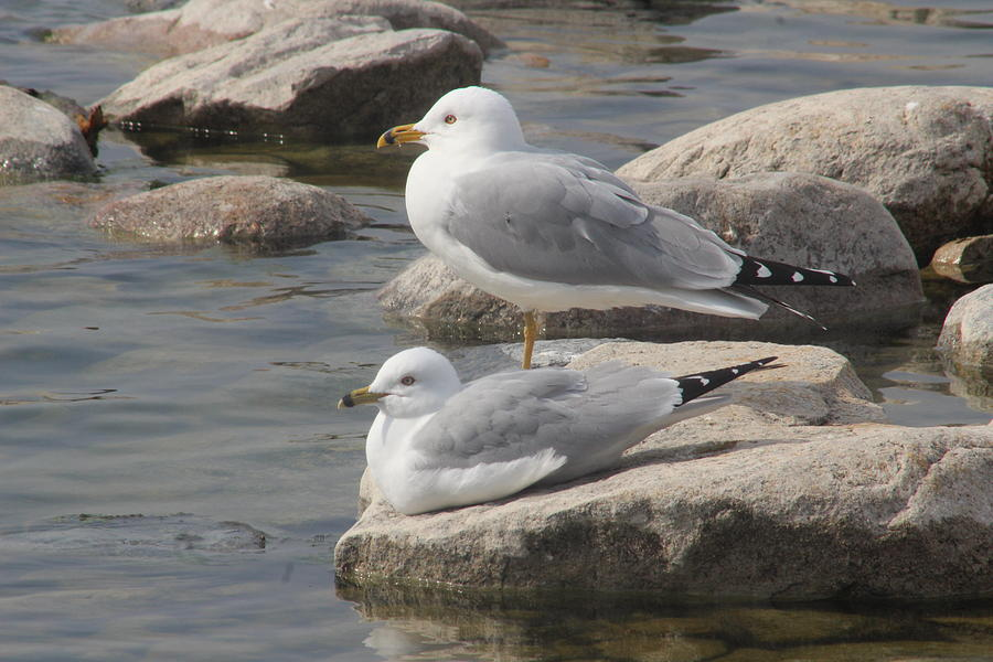 Pair of Ring-billed Gulls by Callen Harty