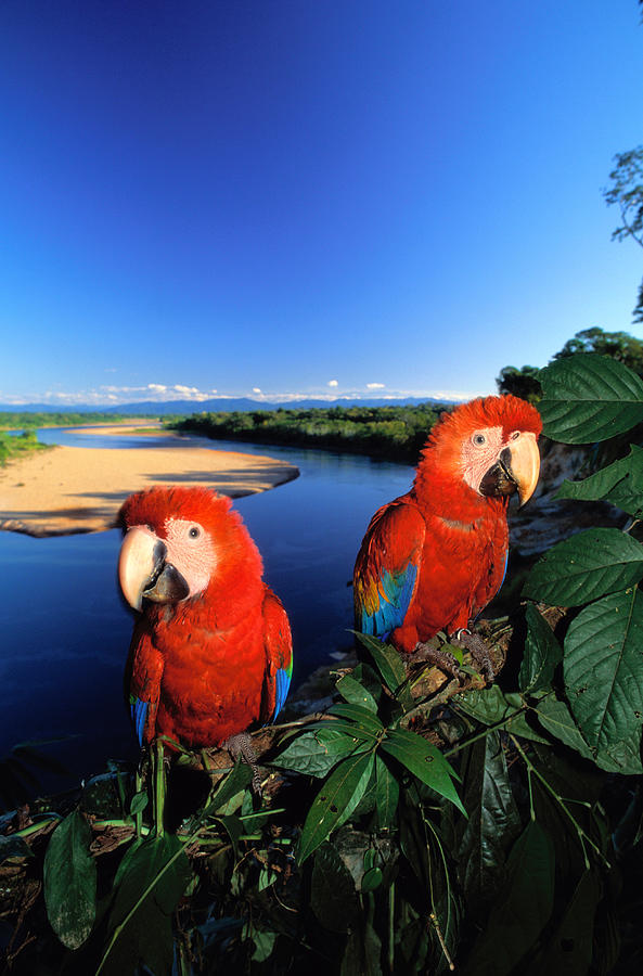 Pair Of Scarlet Macaws Ara Macao Near Photograph by Art Wolfe
