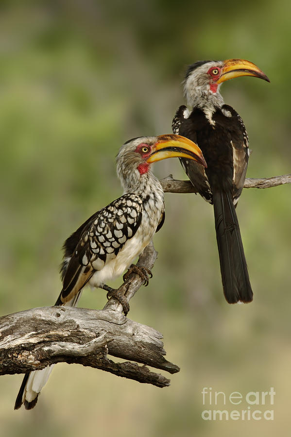 Big Photograph - Pair Of Southern Yellowbilled Hornbills by Johan Swanepoel