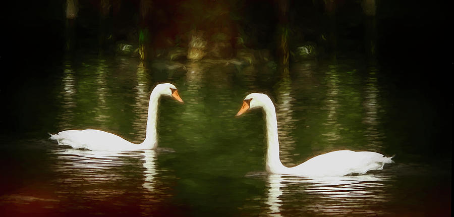 Pair of Swans by Barry Wills