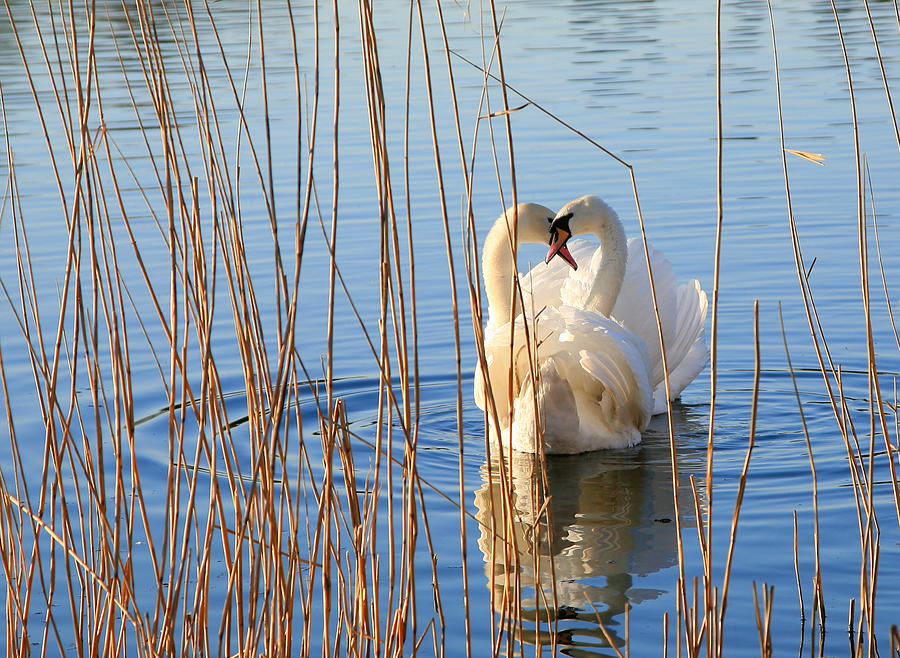 Pair Of Swans In Love Photograph by Itsabreeze Photography