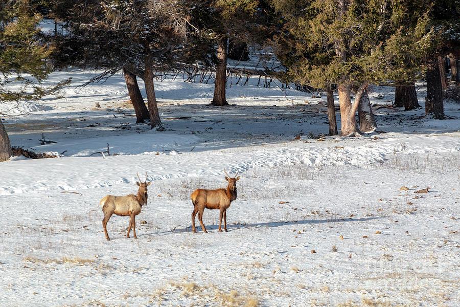 Pair Of Winter Morning Elk Herd Photograph